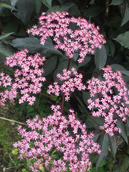 pink elder